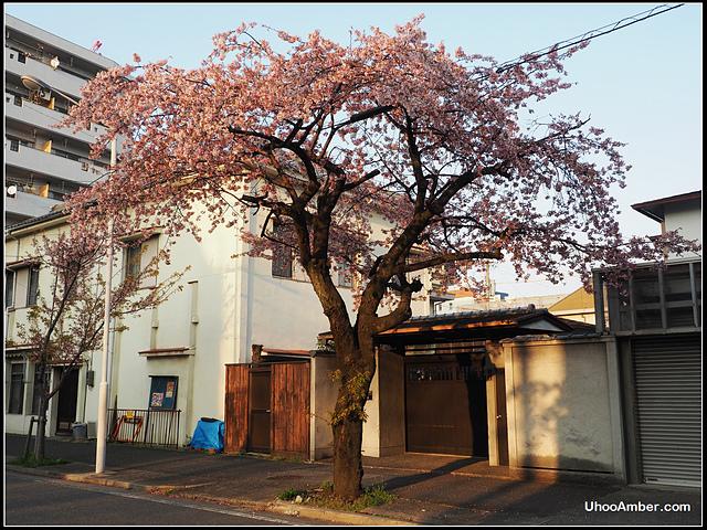 P3300026.JPG - 名古屋地鐵櫻通線高岳站2號出口的櫻花
