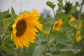 隨手拍:向日葵-0.jpg