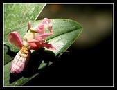 :蘭花螳螂2.jpg
