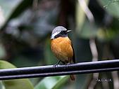 黃尾鴝公鳥(4):IMG_1925-1.JPG