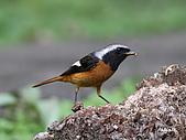 黃尾鴝公鳥(4):IMG_1959-1.JPG