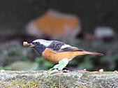 黃尾鴝公鳥(4):IMG_1984-1.JPG