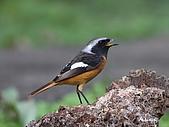 黃尾鴝公鳥(4):IMG_1965-1.JPG