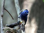 黑枕藍鶲幼鳥_離巢記:IMG_5900.JPG
