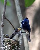 黑枕藍鶲幼鳥_離巢記:IMG_5904.JPG