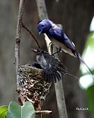 黑枕藍鶲幼鳥_離巢記:IMG_5797.JPG