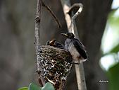 黑枕藍鶲幼鳥_離巢記:IMG_5801.JPG