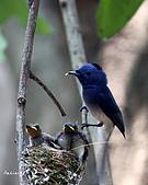黑枕藍鶲幼鳥_離巢記:IMG_5906.JPG