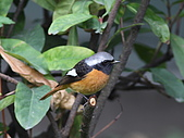 黃尾鴝公鳥(4):IMG_1909-1.JPG