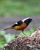 黃尾鴝公鳥(4):IMG_1959-2.JPG