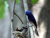 黑枕藍鶲幼鳥_離巢記:IMG_5910.JPG