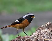 黃尾鴝公鳥(4):IMG_1957-1.JPG
