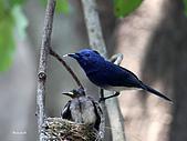黑枕藍鶲幼鳥_離巢記:IMG_5923.JPG