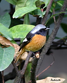 黃尾鴝公鳥(4):IMG_1913-1.JPG