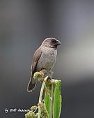 斑文鳥與白腰文鳥_2010.06:IMG_4227.JPG_斑文鳥