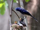 黑枕藍鶲幼鳥_離巢記:IMG_5839.JPG
