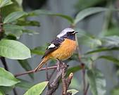 黃尾鴝公鳥(4):IMG_1914-1.JPG