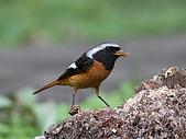 黃尾鴝公鳥(4):IMG_1960-1.JPG