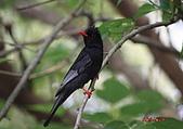 紅嘴黑鵯:IMG_2699.JPG