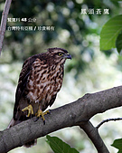 2009.10~11 鳥況 :IMG_7126.JPG