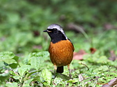 黃尾鴝公鳥(4):IMG_1915-1.JPG