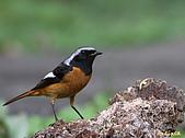 黃尾鴝公鳥(4):IMG_1958-1.JPG