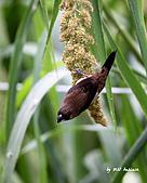 斑文鳥與白腰文鳥_2010.06:IMG_4293.JPG