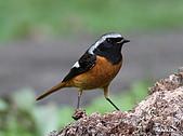 黃尾鴝公鳥(4):IMG_1961-1.JPG