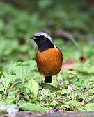 黃尾鴝公鳥(4):IMG_1916-1.JPG