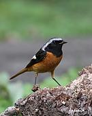 黃尾鴝公鳥(4):IMG_1961-2.JPG