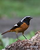 黃尾鴝公鳥(4):IMG_1958-2.JPG