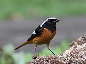 黃尾鴝公鳥(4):IMG_1962-1.JPG
