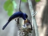 黑枕藍鶲幼鳥_離巢記:IMG_5885.JPG
