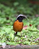 黃尾鴝公鳥(4):IMG_1918-1.JPG