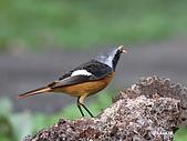黃尾鴝公鳥(4):IMG_1963-1.JPG