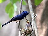黑枕藍鶲幼鳥_離巢記:IMG_5889.JPG
