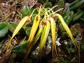 台中福音堂 網頁: tc-gospel.webs.com:Bulbophyllum ciliisepalum毛緣萼豆蘭