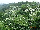油桐花開:照片 022.jp