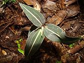 稍來山植物:鳥嘴蓮.J