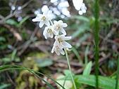 稍來山植物:間型沿階草(花)