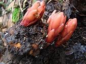 稍來山植物:穗花蛇菰