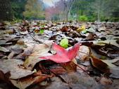 春の紅葉---惠蓀林場:春の紅葉