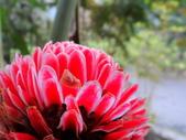 春の紅葉---惠蓀林場:火炬薑