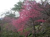 八仙山...櫻花宴:八仙山 006.j