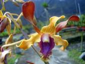 珍稀 原生蘭花 (圖鑑1):Dendrobium helix var.