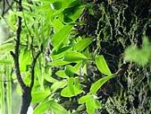 稍來山植物:高山絨蘭