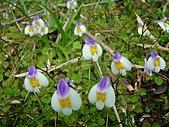 塔塔加植物: 匍莖通泉草