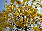 花語:黃金風鈴木
