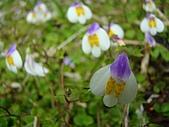 塔塔加植物:匍莖通泉草