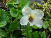 5月合歡山植物:雪山堇菜